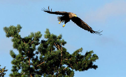 White-tailed Sea Eagle Killarney