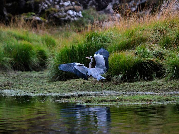 Heron Killarney